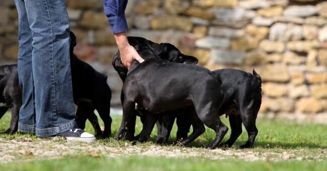 cdc élevage chien